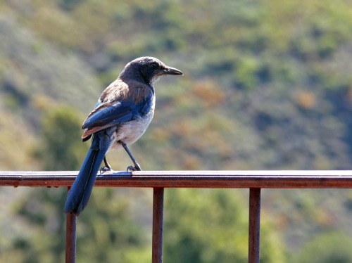 Scrub jay in Big Sur