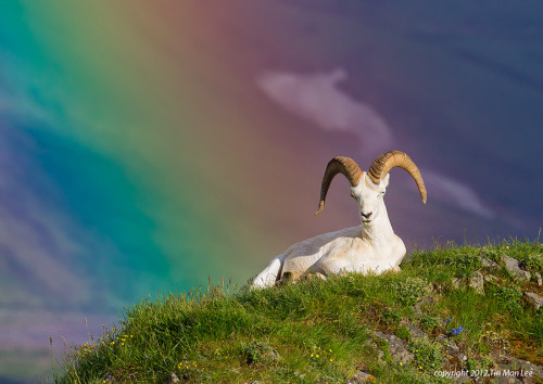 "magicalnaturetour:   ""Dall Sheep in Rainbow 2"" by Tin Man :)"