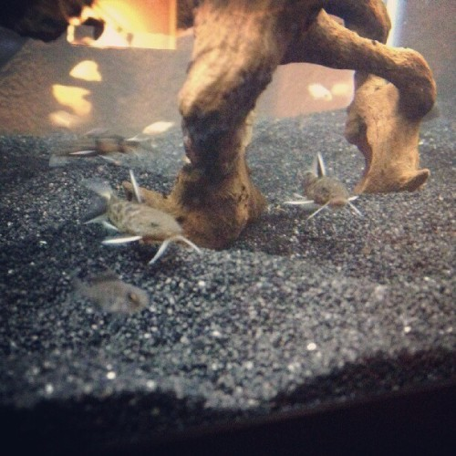 #Dwarf #synodontis #Petricola and #haplochromis #fry #fishtank #mytank #freshwatertank #fish #fisch #aquatic #thelifeaquatic #freshwaterfish #tropical #aquaria #Aquarium #communitytank #instafish #fishhub #fishgeek #fishlife #fintastic #underwaterworld #aquascape #cichlids #cichlidtank #growouttank #mybreed  (Taken with Instagram)