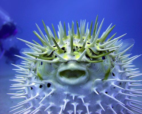 mr-originality:  Puffer Fish