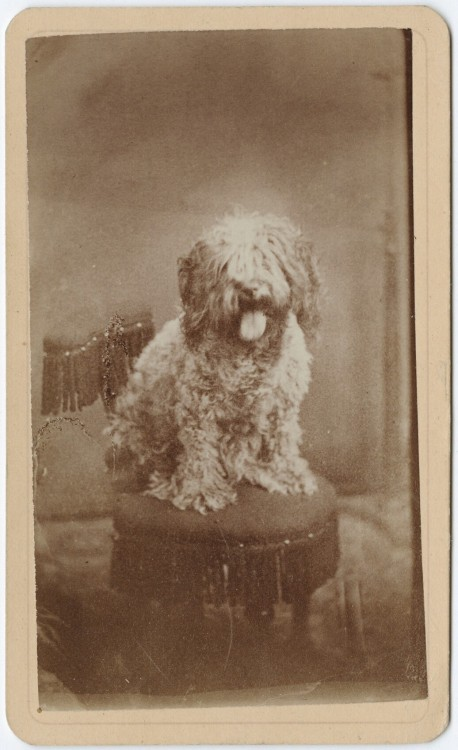 ca. 1855-95, [carte de visite portrait of  a dog], B. F. Stevens via the Yale Collection of Western Americana, Beinecke Rare Book and Manuscript Library Carl Mautz Collection