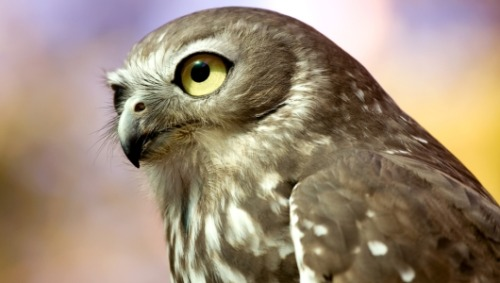 mothernaturenetwork:  2 new owl species discovered in the PhilippinesResearchers identified the new species after hearing the owls' distinctive songs, which are programmed into their DNA.