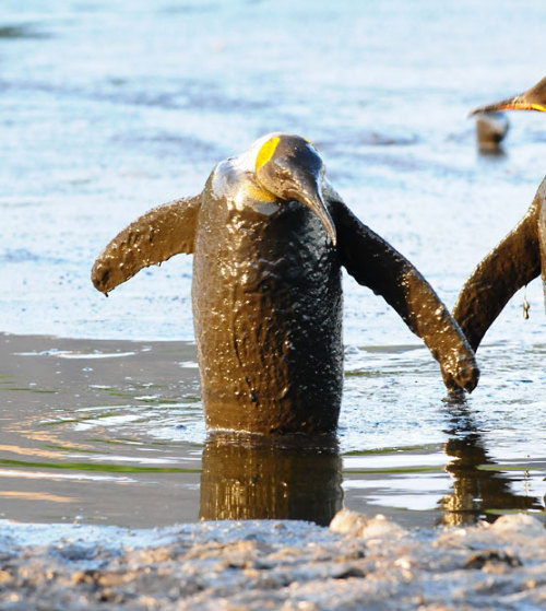 A King penguin gets covered in mud after a huge mud lake poured across the ice and separated them from the water at Salisbury Plain in South Georgia. The penguins emerged encased in mud before reaching the sea and throwing themselves into the ice-cold ocean for a much-needed wash. Picture: Sjoerd van Berge Henegouwen/BNPS (via Pictures of the day: 20 August 2012 - Telegraph)