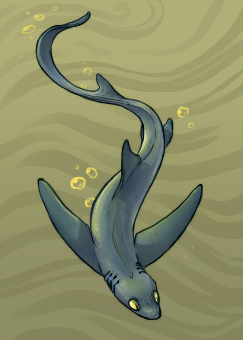 continuing with the late shark week sharks, here's a pelagic thresher!