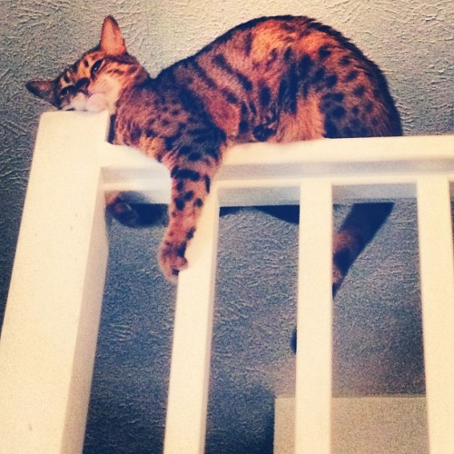 Ohhh, just enjoyin' her headrest. #bengal (Taken with Instagram)