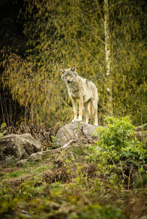 earth-song:  Wolf on the lookout , Park: Les loups de Chabrières - France - by Oberon7up