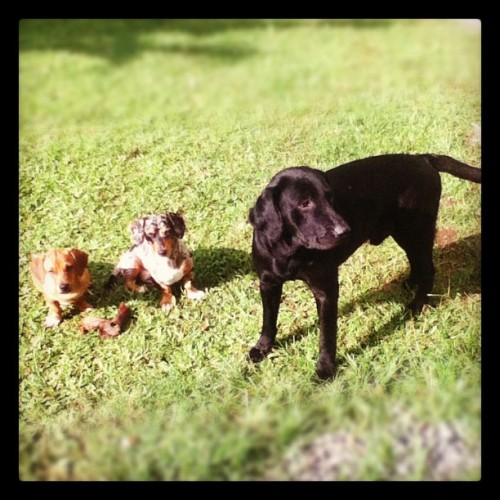 smirkyalphonsehugs:  Sunny day for the Dogs #pets #pet #happy #family #home #sunny #sun #day #enjoy #cute #labrador #daug #dapple #dachshund #love #garden (Taken with Instagram)