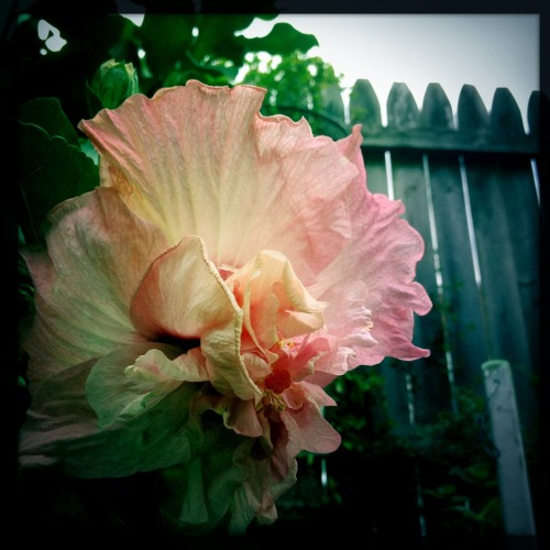 Even my @costafarms hibiscus is ready for the huge #IGC12 #gardenchat in 2 minutes! John S Lens, W40 Film, No Flash, Taken with Hipstamatic