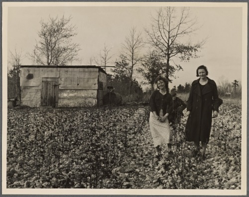 Cotton patch near Raleigh, NC. 1936.