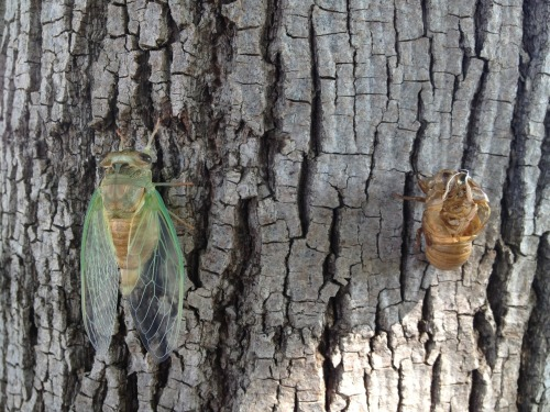 thingsorganizedneatly:  Cicada comparison by Cole.