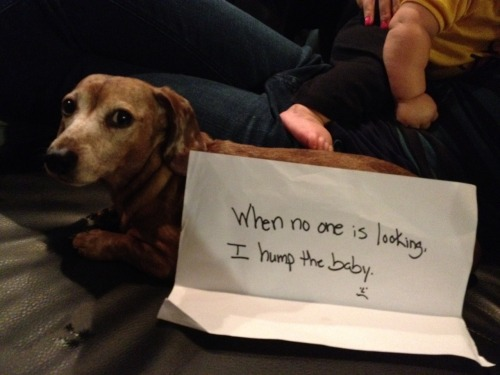 dogshaming:  This is Bogger.  He enjoys napping and baby humping.      LOOK AT HIG GUILTY FUCKING FACE