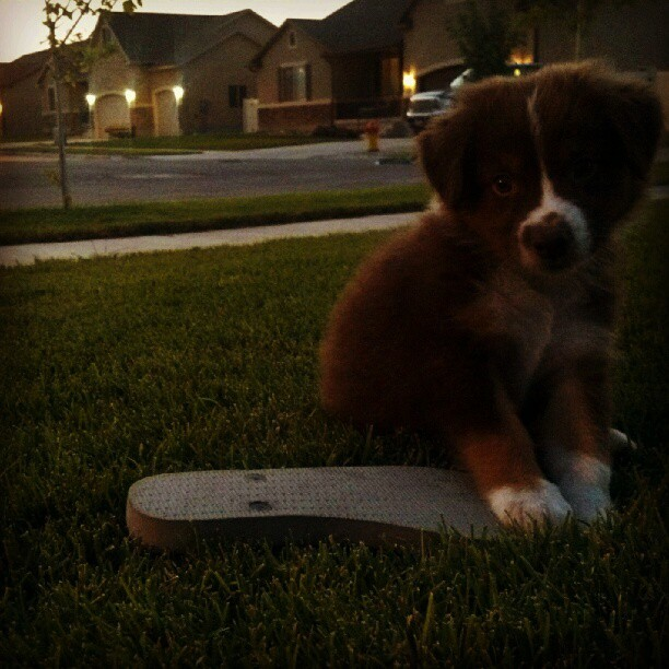 Yay, flip flop. #Aussie #Lincoln #AustralianShepherd #dusk #cute #puppy #flipflops (Taken with Instagram)