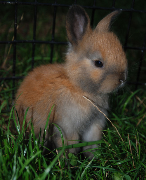 "Bunny Terrifies Small Town By Scott Friedstein, FluffPo Correspondent Authorities in Keene, NH have recently been alerted to a strange rabbit that has inexplicably started showing up outside residents' windows. The bunny has been described as small, fuzzy, and most definitely sinister.  ""There's been a spike in calls,"" says Chief of Police Lou Holtz. ""People see the bunny, they don't know what to do. Naturally, they call 911."" Residents tell The Fluffington Post that the bunny shows up randomly, but usually after dinner.  ""He just sits out there, staring, planning Lord knows what,"" says Marge Schiffley. ""I haven't slept in weeks."" According to Holtz, the bunny has presented a unique threat to the community. ""I've never dealt with anything this creepy, "" says the 26-year veteran. ""To be honest, he's kind of cute. But that's obviously just part of his plan."" Via vjmarisphotos."