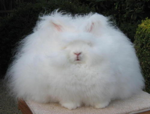 Angora Rabbit from ncag.blogspot.com