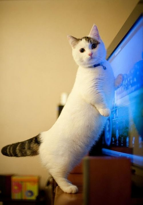 starkindustriesamm:  nebulachainnnn:  THIS CAT IS PROPORTIONED ENTIRELY INCORRECTLY  WHAT A CUTIE PATOOTIE OH MY GOOD GOLLY GOSH