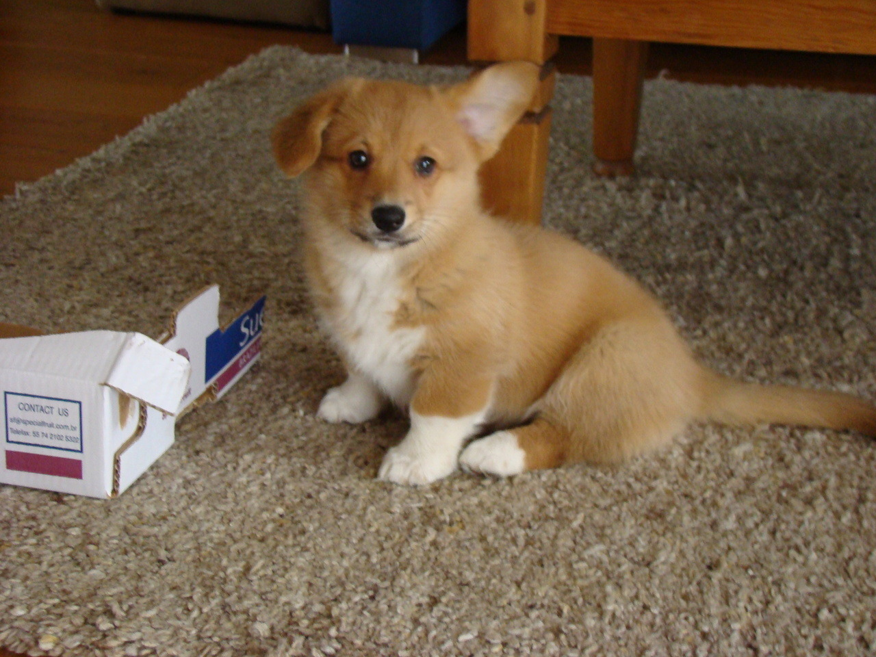 corgis-everywhere:  Mickey