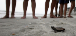 reuters:  A loggerhead turtle hatchling makes it's way to the surf, as tourists and volunteers look on, at South Litchfield Beach along the coast of South Carolina August 17, 2012.  South Carolina United Turtle Enthusiasts (SCUTE), is a group of volunteers dedicated to sea turtle conservation in Georgetown and Horry counties. Turtle volunteers walk the area's beaches along South Carolina's coast daily during the nesting season, looking for signs of turtle activity and keeping tabs on the progress of the endangered species of turtles that lay their eggs along the coast.  Photo taken August 17, 2012. [REUTERS/Randall Hill]   PHOTOS: Turtle nesting season in South Carolina