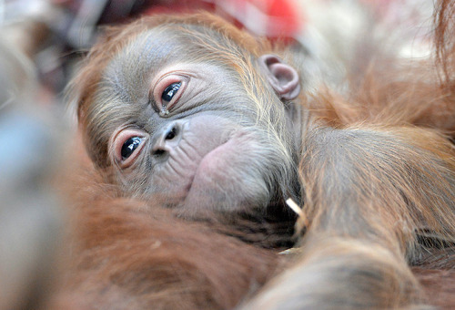 theanimalblog:  Gelsenkirchen, Germany: A newborn orangutan clings to its mother Photograph: Martin Meissner/AP