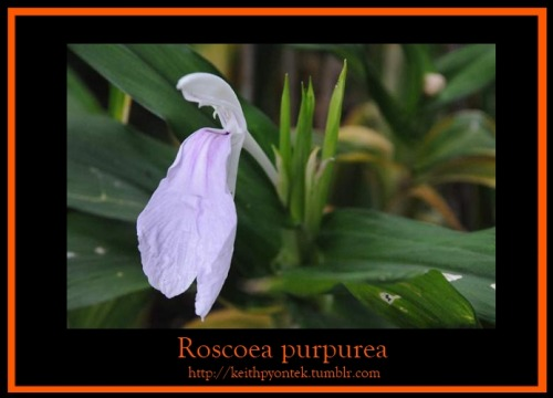 This Roscoea purpurea HWJK2174 is in bloom in one of my gardens. A perennial herbaceous  plant in the Zingiberaceae family,  it's named for William Roscoe, founder of the Liverpool Botanic Garden.
