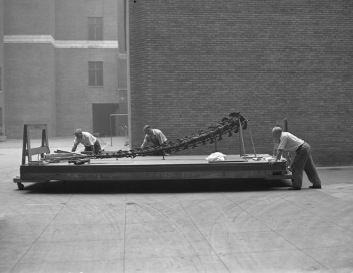 From the archives: Museum staff moving an Apatosaurus (previously known as Brontosaurus) skeleton, June 1938 Explore all the photos from the Picturing the Museum collection here: http://bit.ly/l8nOsp © AMNH Library/Image #289651