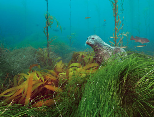 From National Geographic: A Harbor Seal (Phoca vitulina)peers from a kelp forest on Cortes Bank, a series of undersea peaks and plateaus off the coast of San Diego. This shallow, light-filled summit supports a wide variety of animals and plants. Photograph by Brian Skerry