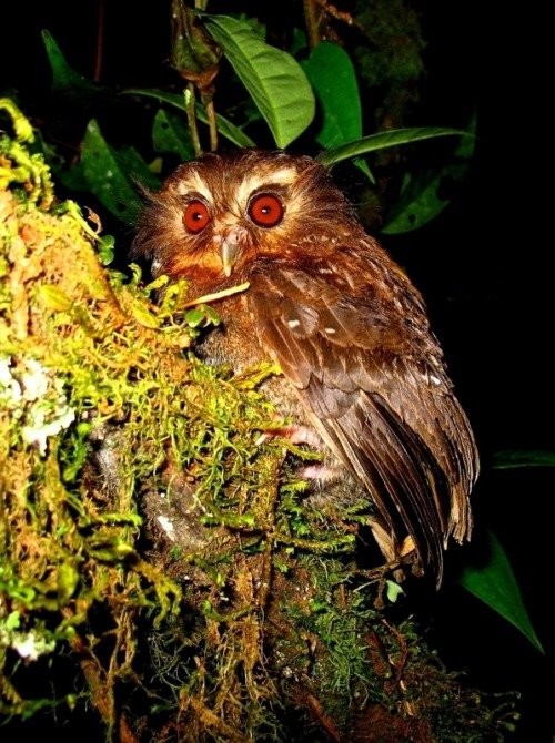 rhamphotheca:  An Elusive Jungle Owlet The Long Whiskered Owlet (Xenoglaux loweryi) is shown here at the Abra Patricia Reserve-Alto Nieva Private Conservation Area, located in the tropical forests of Abra Patricia in the Andes of Peru.  The species is endangered and its known range is extremely small, according to the IUCN. Very little is known about the Long Whiskered Owlet, and although it was first discovered in 1976, it wasn't until 2007 that the elusive species was observed in the wild for the first time. The owlet's numbers are continuing to decline because its remaining areas of suitable habitat around Abra Patricia are being lost to deforestation as a result of land being cleared for timber and agricultural activities. (via: OurAmazingPlanet) (image: Ecosistemas Andinos (ECOAN), Feb. 2007)