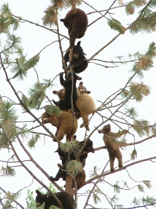 nprfreshair:  wnycradiolab:  I know we're late to this but OMG BEARS. (On reddit here; anyone have an original image source?)  Happy World Animal Day! Get ready to be a better worker this afternoon with another ridiculously cute animal picture.