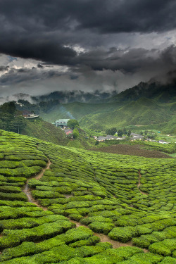"earth-song:  ""Green tea factory"" by Jeffrey Groeneweg"