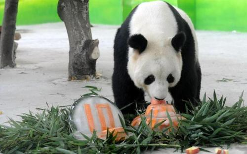 Giant panda Xinyue eats cake for his 10th birthday…