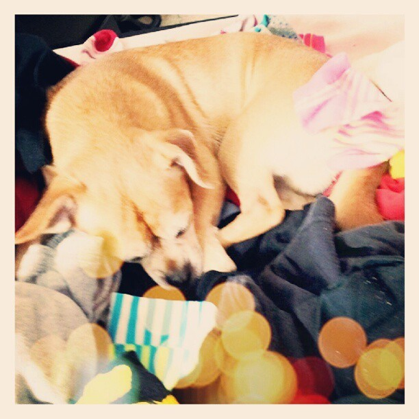 Just did my #laundry and my #chug likes the warmth. #dog #puppy #cute #adorable  (Taken with Instagram)