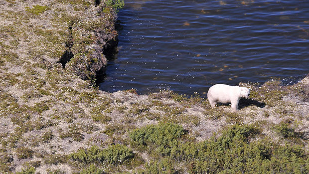 A pregnant female polar bear is seen in Manitoba's Wapusk National Park in this 2011 handout photo. Conservation officers are finding more dens in the area, which are used by mother polar bears when they give birth. (The Canadian Press)