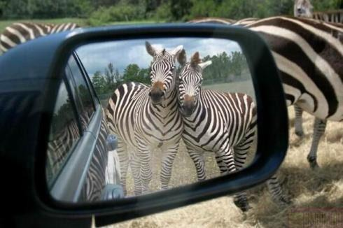 funnywildlife:  Even They Can't Resist A Mirror!!!!!!!!!