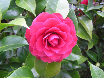 gardengrab:  Camellia  Another reason to look forward to cooler weather.
