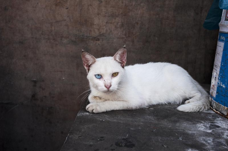 Freaky 2 colored Eyed Cat, Shanghai, China, 2012 - Davey Warren