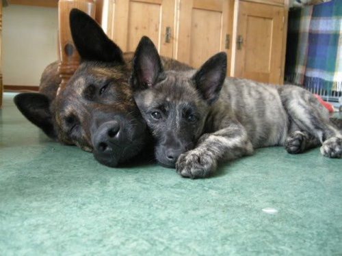 - Dutch Shepherd (Short Haired).  Want more? Follow: http://dogsandpupsdaily.tumblr.com