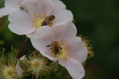 hikereyes:  FOTO FLASHBACK - June 17, 2011 - Bees busy with their work in the San Joaquin Marsh. by HikerEyes