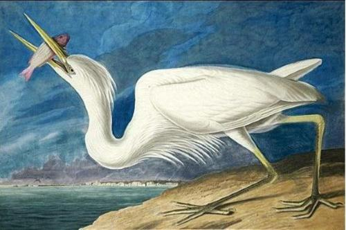 'Great White Heron' - Audubon
