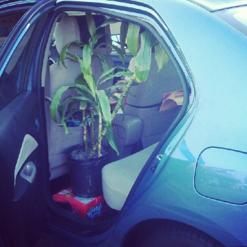 """It's a ficus named Fern!"" #hannahmontana #plant #green #car #myfriendisbetterthanyours #morning (Taken with Instagram)"