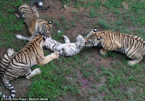 "jotter-journal:  3 caged Amur tigers kill white tiger cub (Graphic image) TigerTime General JUL 12 On Monday in Shendiao Mountain Wildlife Park in East China, 3 Amur tigers killed a white tiger cub. Eye witnesses are stating that the tigers were not being fed enough with one visitor saying 'we couldn't see any meat anywhere and they looked like they were hungry.It was shocking.' Another onlooker commented 'some tourists informed the park's staff, and it took about 10 minutes for the staff to get to the spot and drive away the tigers.' The park officials issued a statement with a completely different view, which said that the tiger cub was killed due to 'excessive frolic.' The park deny the claims that the tigers are underfed stating 'each sub-adult tiger is provided with a standard meal of 2 kg of beef, 0.5 kg of chicken neck and bones and eggs and cod liver oil to meet their needs.' The park manager went on to explain that the Amur tigers and the white tiger had been raised in the same zone, but the white tiger was given dog milk, whereas the Amur tigers were breast fed. This he claims made the white tiger 'lack savagery.' The park has since said that they will now raise different species in separate zones of the park. A team has been sent from the provincial forestry department to investigate the case and an official report will soon be released. Melanie Shepherd, CEO of the David Shepherd Wildlife Foundation commented, ""Although it is known that male tigers in the wild do sometimes kill the cubs of another male to bring the female back into heat, this story is disturbing on many levels.To see these beautiful creatures - that are largely solitary in the wild - driven out of hunger or boredom to resort to cannibalism illustrates just how wrong it is to keep large numbers of tigers in captivity."" Follow me on my journey for the animals :  Tumblr :    http://jotter-journal.tumblr.com/ Twitter :    https://twitter.com/#!/Jotter_Journal                                                 With Love, Jotter-Journal"