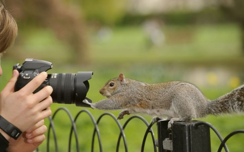 theanimalblog:  Young man photographing Grey Squirrel (Sciurus carolinensis) on fence in parkland, Regent's Park, London Picture: Terry Whittaker/2020VISION / Rex Features