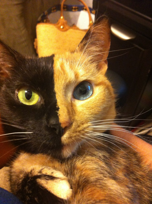 This is Venus, a 3 year old chimera cat. Chimera cat is one individual organism, but genetically its own fraternal twin. A chimera is typically formed from four parent cells (either two fertilized eggs, or two early embryos that have fused together). When the organism forms, the cells that had already begun to develop in the separate embryos keep their original phenotypes and appearances. This means that the resulting animal is a mixture of tissues and can look like this gorgeous (but bizarre) kitty.