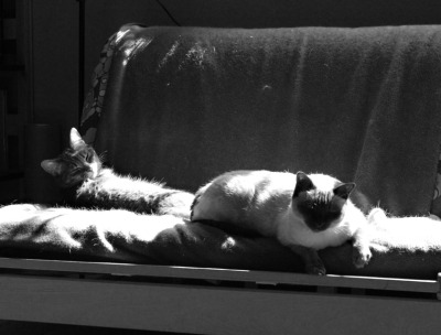 feliscorvus:  Ladycats Cora (left) and Nikki (right) sharing some weekend sunbeams. These two aren't the best of friends but they've definitely developed a very civil, respectful relationship at this point. You can sort of see that in this picture: they're both very…self-contained, somehow, but obviously aware and tolerant of each others' presence.