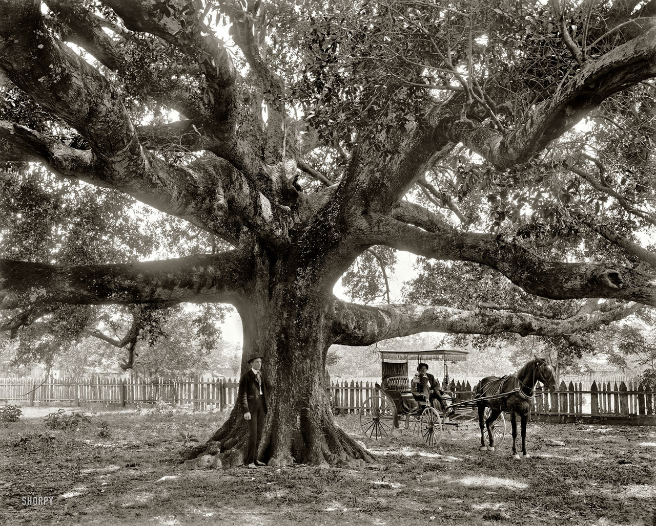 The Mammoth Oak, c. 1900 (via via)