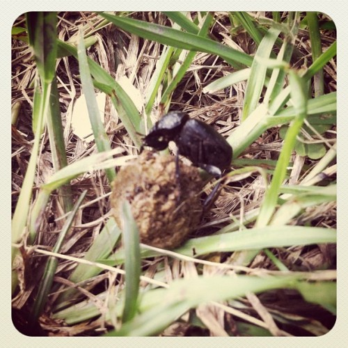 Ha! This little beetle I pushing a ball of shit around my back yard! First time I've ever seen that in person!! (Taken with Instagram)