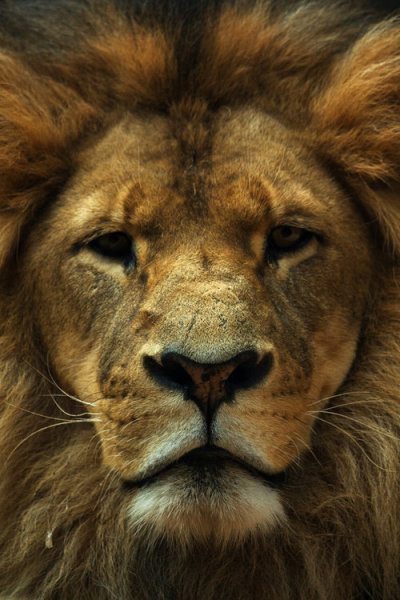 simply-wizdom:  King of the jungle