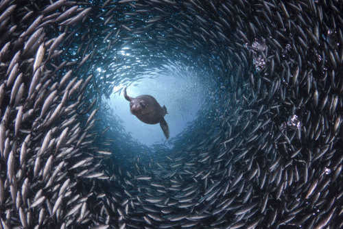 In the waters around the Galapagos Islands a hungry sea lion appears to swim through a tunnel of fish as it searches for its supper. David Fleetham's underwater photographs show the startling variety of life that can be found in the world's oceans. Picture: David Fleetham/Bluegreen / Rex Features