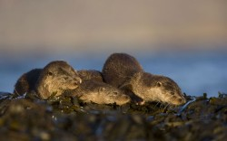 Three European river otters (Lutra lutra) resting on seaweed, Isle of Mull, Inner Hebrides, ScotlandPicture: Danny Green/2020VISION / Rex Features