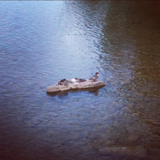 #ducks for @benrankel (Taken with Instagram at Elbow River)