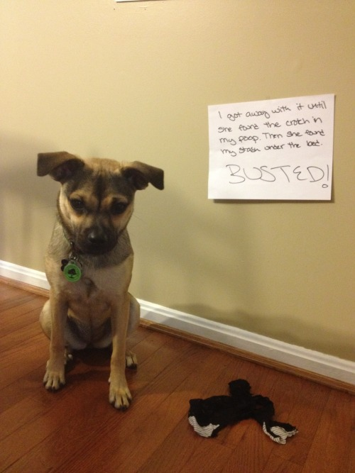 "Well, it's been nearly two weeks and I'm still amused by Dogshaming.  dogshaming:  ""I got away with it until she found the crotch in my poop. Then she found my stash under the bed. BUSTED!"""