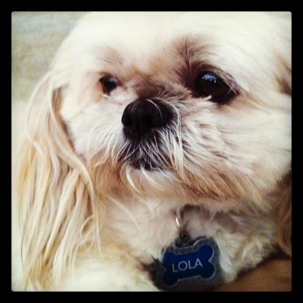 My other ewok ❤🐶 #furbaby #ewok #starwars #Lola #shihtzu  (Taken with Instagram)